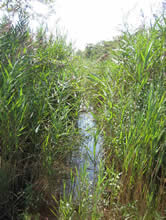 Phragmites growing along a stream edge