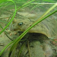 Chris Pickerell flounder