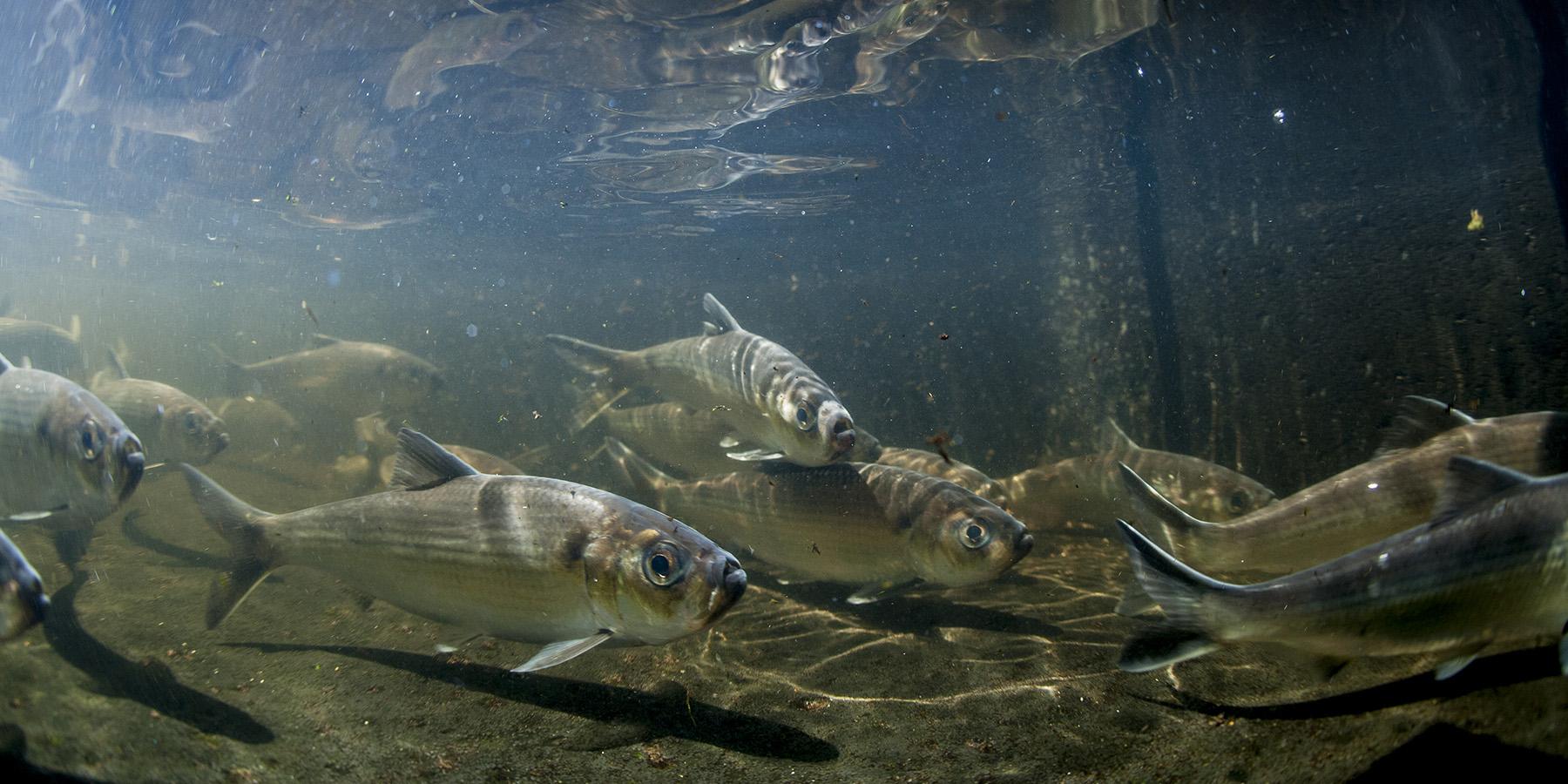 Onne van der Wal river herring
