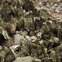 Shutterstock oysters