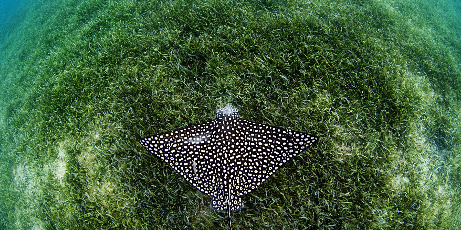 Spotted Eagle Ray © Jay Fleming