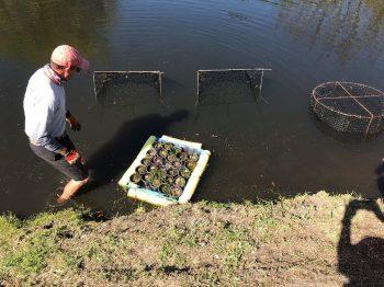 planting SAV
